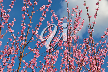 Branch of spring peach. Flower tree. Nature composition.