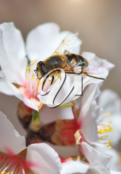 Bee on white flower. Macro nature composition.