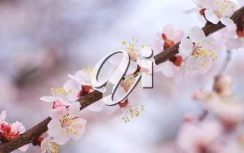 Spring flowers of apricot tree. Composition of nature.