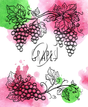 Vector illustration of grapevine. Hand drawn vector illustration. Watercolor background.