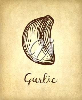 Ink sketch of garlic on old paper background. Hand drawn vector illustration. Retro style.