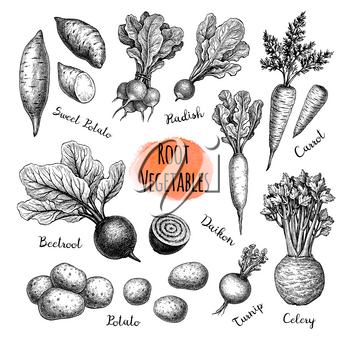 Root Vegetables big set. Ink sketch collection isolated on white background. Vegetables set. Hand drawn vector illustration. Retro style.