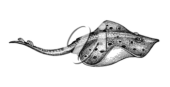 Stingray. Ink sketch of seafood. Hand drawn vector illustration isolated on white background. Retro style.