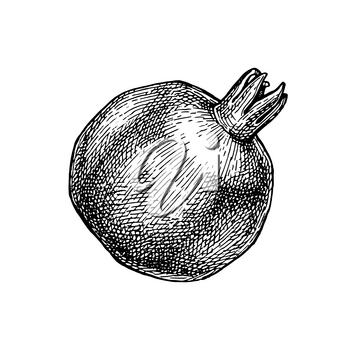 Pomegranate. Ink sketch isolated on white background. Hand drawn vector illustration. Retro style.