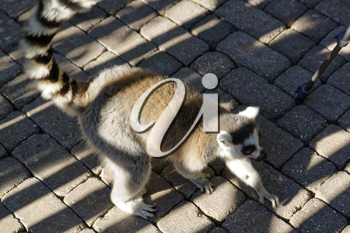 Long-tailed lemurs with huge Golden eyes sitting on the ground