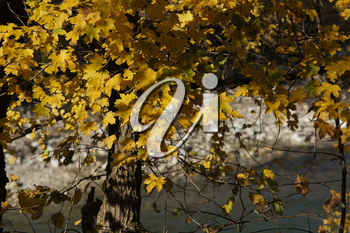Sunny nature background with autumn yellow tree branches. The golden rays of sun in leaves.