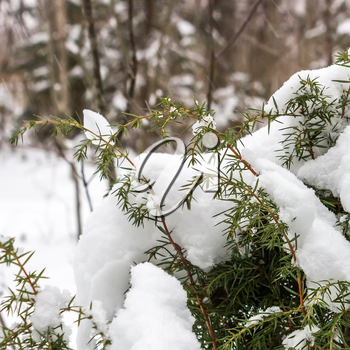Branches of juniper, covered with snow in winter day.
