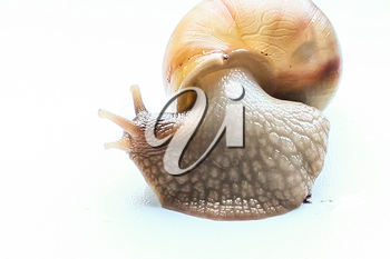 Giant snail Achatina scared and looks around.