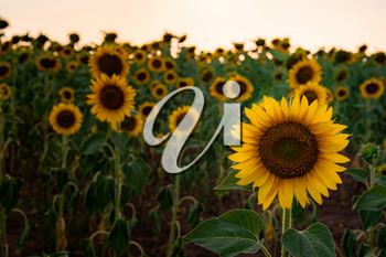 Sunflowers in the field, summertime agricultural background. close-up, selective focus