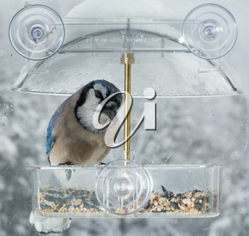 Large blue jay bird in window attached birdfeeder on a wet cold day in winter
