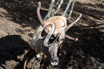Reindeer at the zoo. Horned cloven-hoofed.