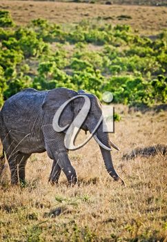 Elephants in the African savannah. Elephant standing in high grass in the Chobe National Park