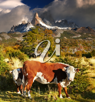 Landscape with cows and Mount Fitz Roy, Patagonia, Argentina