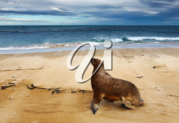 Wild sea lion on the beach, New Zealand