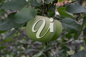 Apple. Grade Florina. Apples average maturity. Fruits apple on the branch. Apple tree. Agriculture. Growing fruits. Garden. Close-up. Horizontal photo