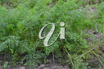 Carrot. Daucus. carrot leaves. Carrots growing in the garden. Garden. Field. growing vegetables. Agriculture. Horizontal