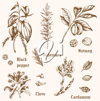 Set of vintage vector hand drawn spices and herbs.