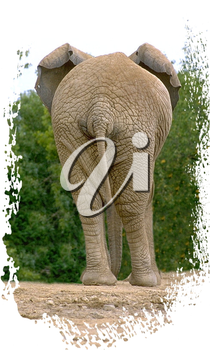 Royalty Free Photo of an Elephants Behind