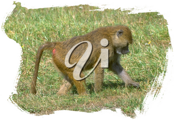 Royalty Free Photo of a Baboon