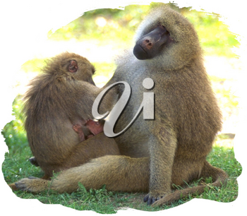 Royalty Free Photo of a Family of Baboons