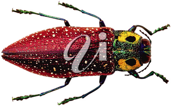 Royalty Free Photo of a Colorful Beetle