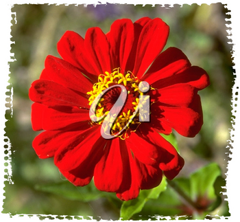 Royalty Free Photo of a Red Chrysanthemum