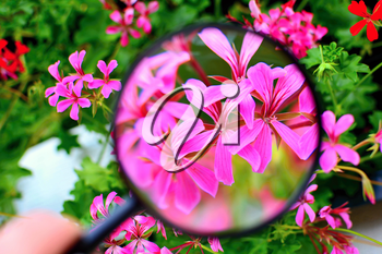 View of purple Pelargonium flower under magnifying glass.