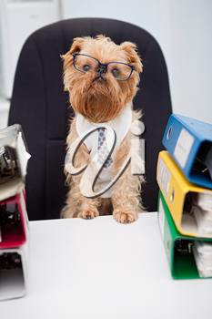 Dog in glasses sitting in an office chair, on with box folder with documents