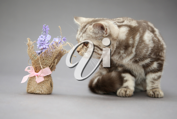 Beautiful young British cat, marble color with brown stripes and blue flower