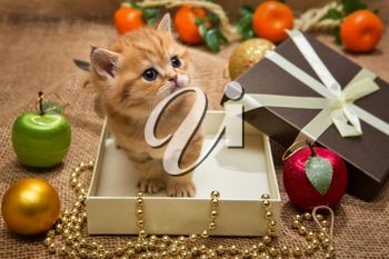 Small orange kitten of the British breed, sits in a gift box with Christmas decoration