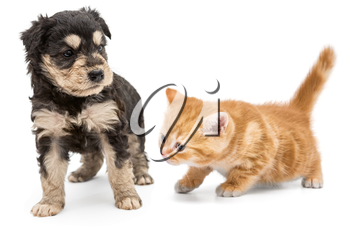 Puppy and ginger kitten together isolated on white