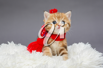 Little  kitten of British marble breed in a red scarf on a fur