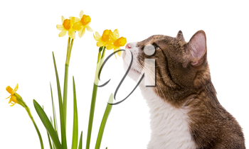 Grey domestic cat and daffodils, isolated on white