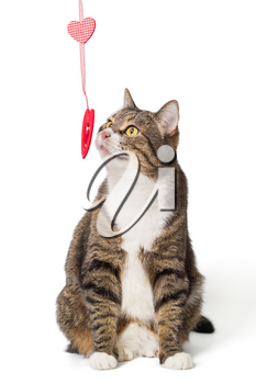 Grey cat and toy heart on ribbon, isolated on white background