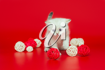 Small, white British kitten plays with balls on a red background