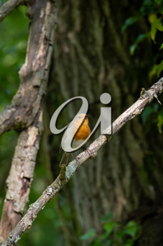 Robin singing in a tree on a spring day
