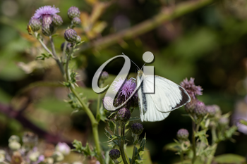 Large White (Pieris brassicae) Butterfly feeding on a thistle
