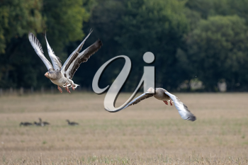 Greylag Geese (Anser anser) flying over a recently harvested wheat field