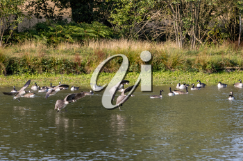 Canada Geese (Branta canadensis) arriving at a lake in Sussex