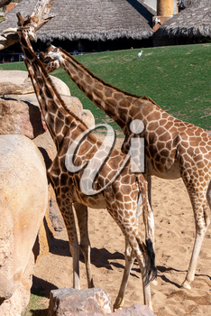 VALENCIA, SPAIN - FEBRUARY 26 : African Giraffes at the Bioparc in Valencia Spain on February 26, 2019. Unidentified people