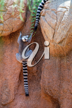 FUENGIROLA, ANDALUCIA/SPAIN - JULY 4 : Ring-tailed Lemurs (Lemur catta) at the Bioparc in Fuengirola Costa del Sol Spain on July 4, 2017