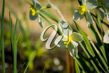 Close up view of a white narcissus flower in a spring day.