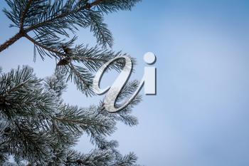 Fresh white snow on pine tree branches, natural winter background.