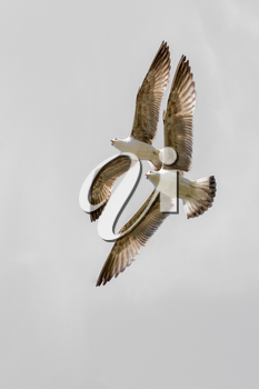 Two seagulls flying in a sky as a background
