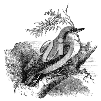 Nuthatch bird on tree branch, vintage illustration. Sourced from antique book The Playtime Naturalist by Dr. J.E. Taylor, published in London UK, 1889.