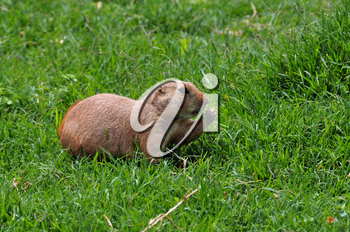 Black-tailed prairie dog rodent eating grass. Animal in natural environment.