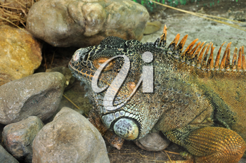 Green iguana reptile closeup. Exotic animal closeup.